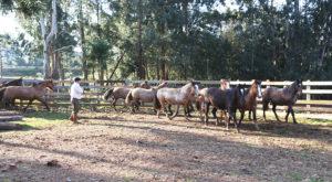 cavalo-crioulo-1